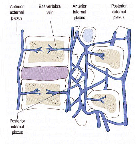 The Anatomy of the Neck. Part Two: Ligaments, Nerves and Blood Vessels