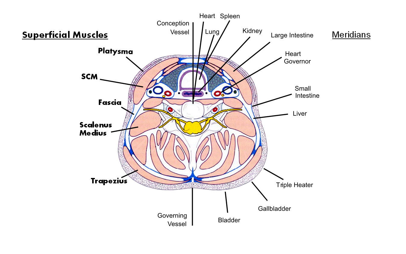 The Anatomy Of Neck Part Four Muscles And Meridian This Diagram Shows In Heart Positions